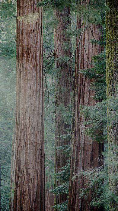 Photo of Redwoods